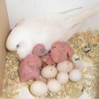 Fresh Fertile Parrot Eggs