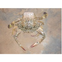 Sea crab -female