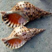 Seashells, Shrimp, Crab, Giant Snail Shell