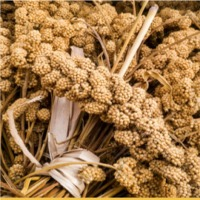 Broom Corn Millet : Manufacturers, Suppliers, Wholesalers and