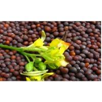 Non GMO Organic Mustard Seed