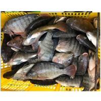 title='Fresh /Frozen Tilapia Fish Whole Round'