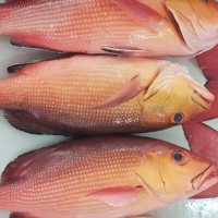 Quality Frozen Red Bass Fillet Fish