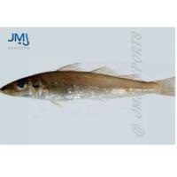 Silver Sillago Fish