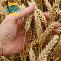 Soft Wheat High Protein & Gluten