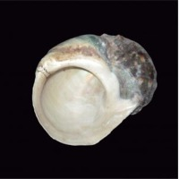 Sa Cu Snail Shell