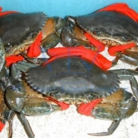 Live Coconut Crabs