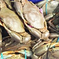 Fresh Live Mud Crab