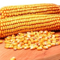 South African Maize Suppliers, Manufacturers, Wholesalers and