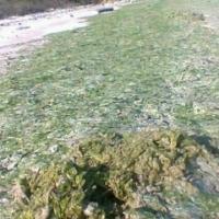 Ulva Lactuca