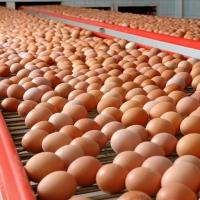 Eggs Fresh