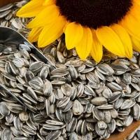 Ukraine Sunflower Seeds
