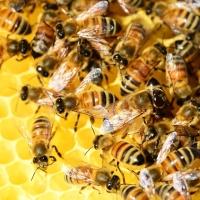 Stingless Honey