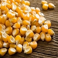 Indian Yellow Maize Seed for animal feeding