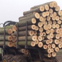 Poplar Lumber And Logs