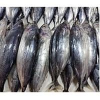 Sea frozen Skipjack Tuna