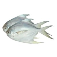 White Pomfret