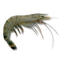 BLack Tiger-shrimp
