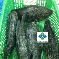 Frozen Black Tilapia Fish