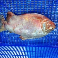 Frozen Red Pacu (Red Pomfret)