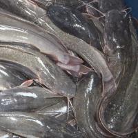 Frozen Cat Fish