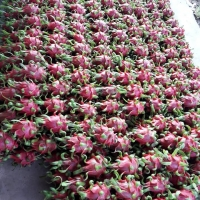 Dragon Fruit Vietnam Export