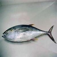 Frozen Whole Round Tuna