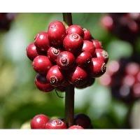 Robusta Cherry Coffee Beans