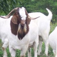 Full Blood Boer Goats