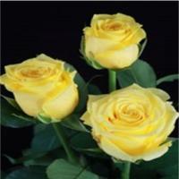 Solaire (yellow)