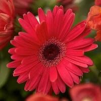 Fresh Cut Flower Gerbera