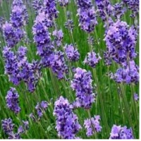 Lavender Dried Flowers