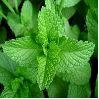 Mentha Essential Oil