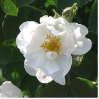 Rose Otto - Rose Alba