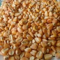 Organic Yellow Maize (Animal Feed)