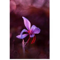 Saffron Plant