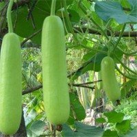 Candle Fire Okra Vegetable Seeds