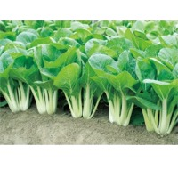 Bino Pai Tsai (Hybrid) Seeds