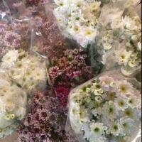 Multi-Colored Chrysanthemum Flowers