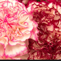 Fresh Carnations Flower