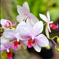 Mokaro Orchid Flower