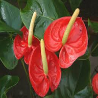 Fresh Cut Anthurium Flower