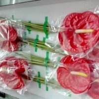 Fresh Anthurium Cut Flower