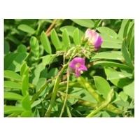 Tephrosia Purpurea Plant