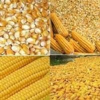 Yellow Corn Maize Animal Cattle Feed