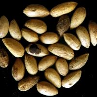 Azadirachta Indica Seed (Neem Seed) Powder