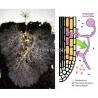 VAM (Vesicular Arbuscular Mycorrhiza)