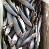 Fresh or Frozen Sardine Fish