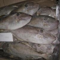 Fresh or Frozen Jacket Fish