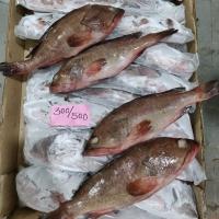 Reef Cod